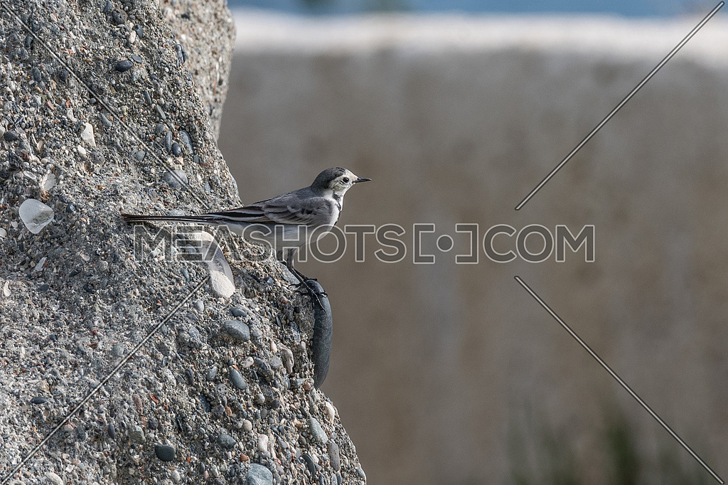 White wagtail, bird.The wagtails form the passerine bird genus Motacilla.
