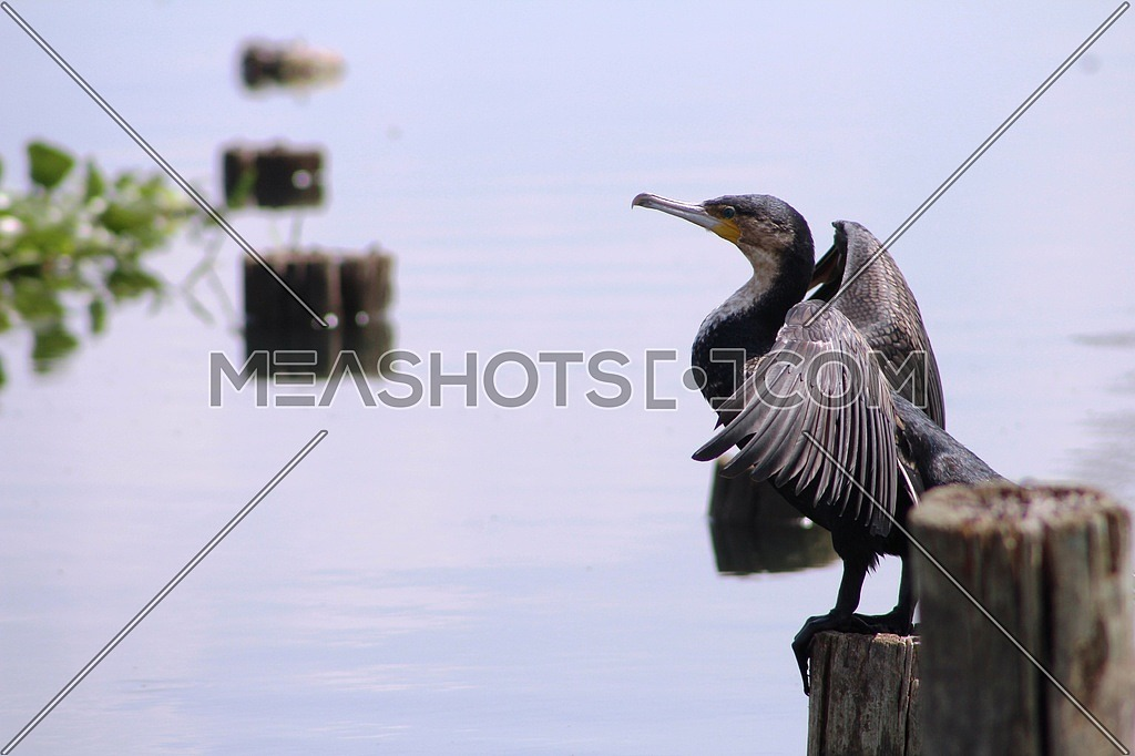 A great cormorant Bird by the river