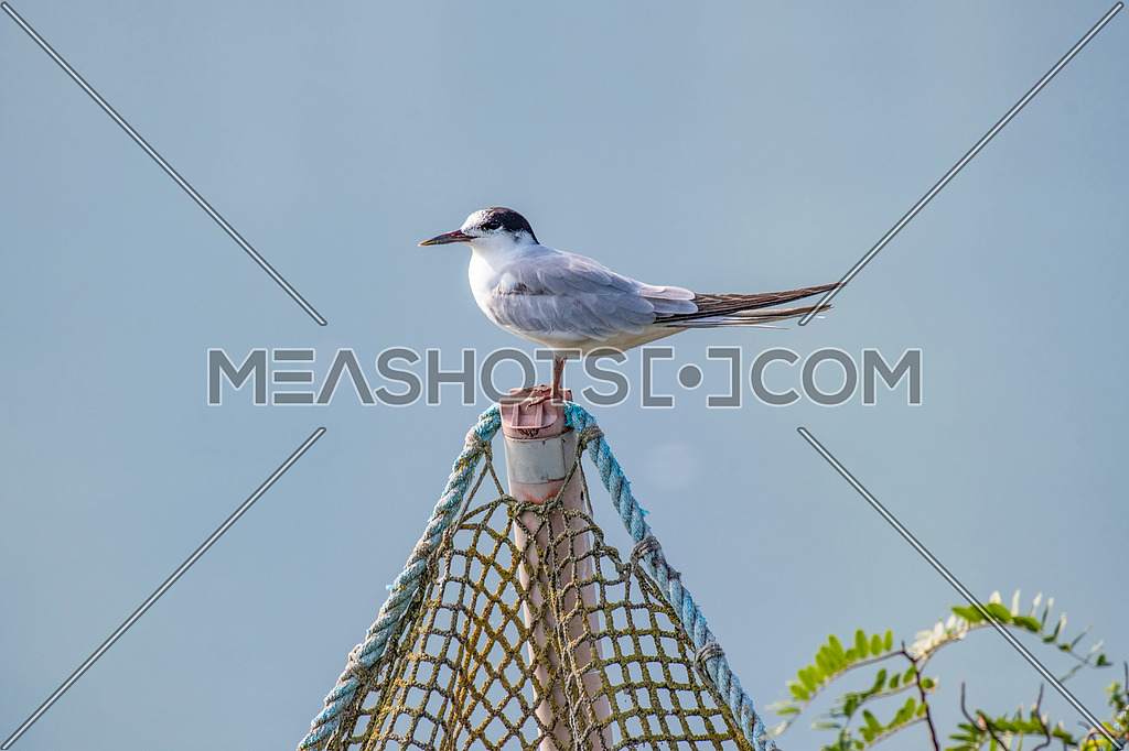 Close up portrait of Common tern (sterna hirundo) in Danube Delta Romania