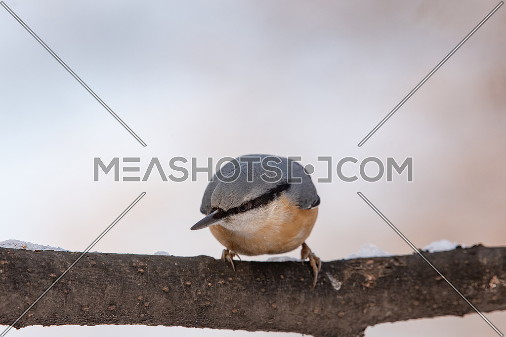 Eurasian Nuthatch Sitta europaea in winter, sitting on a tree trunk.