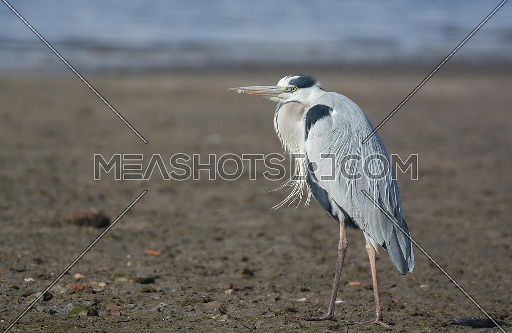 Grey Heron near the waters