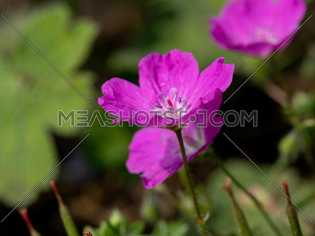 Macro shot of Bloody Cranesbill ,( Geranium Sanguineum) ** Note: Shallow depth of field