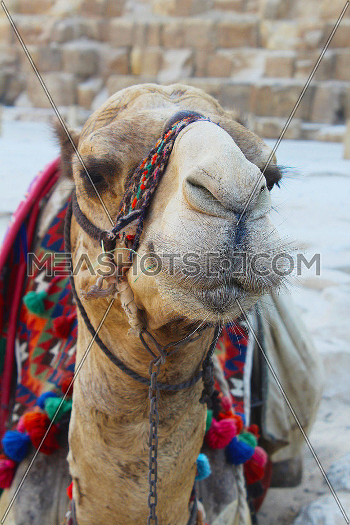 Camel posing to the camera with a part of the pyramid