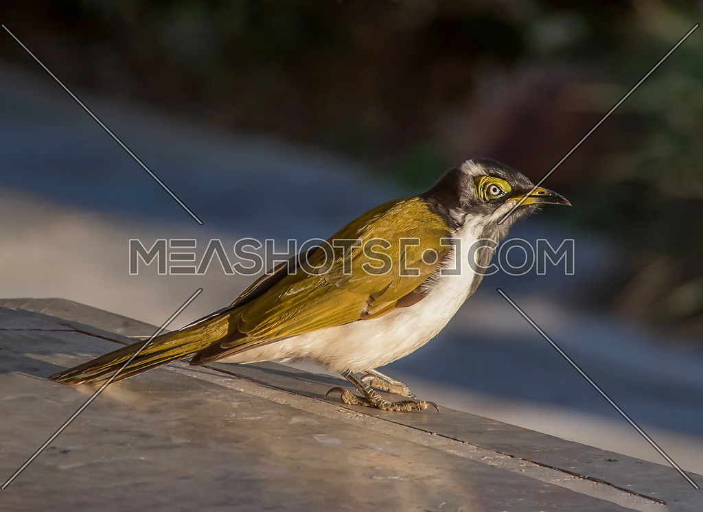 Close up photo of Blue-faced honeyeater (Entomyzon cyanotis)