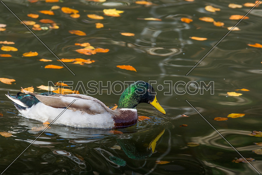Mallard Ducks. Close-up of a Mallard Duck (Anatidae) at the lake.Animals in the wild