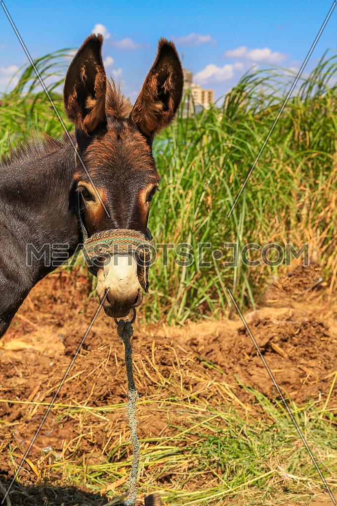 A portrait of a Donkey in a farm with maze plantation