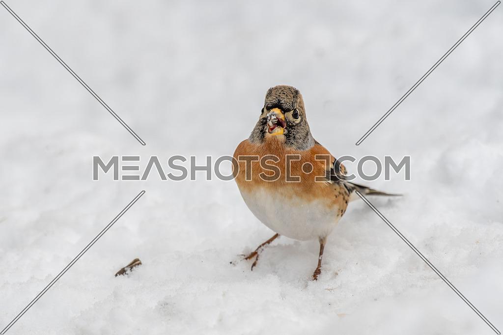 Brambling (Fringilla montifringilla) in snow. Migration in winter