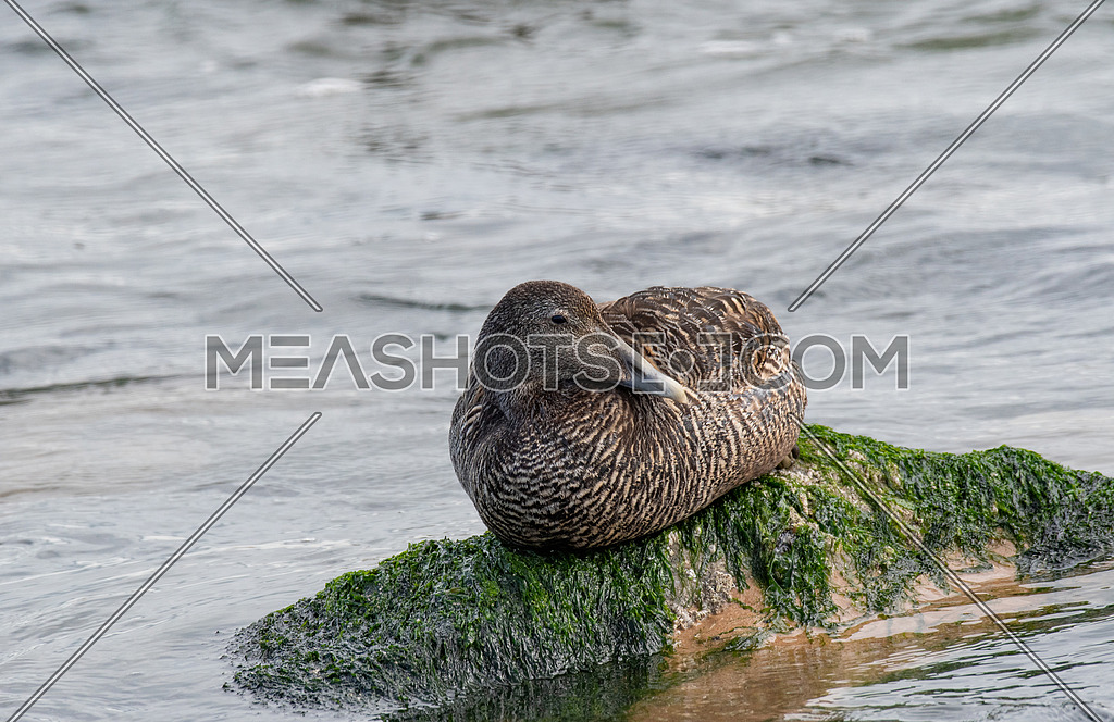 Eider duck (Somateria mollissima ) female resting