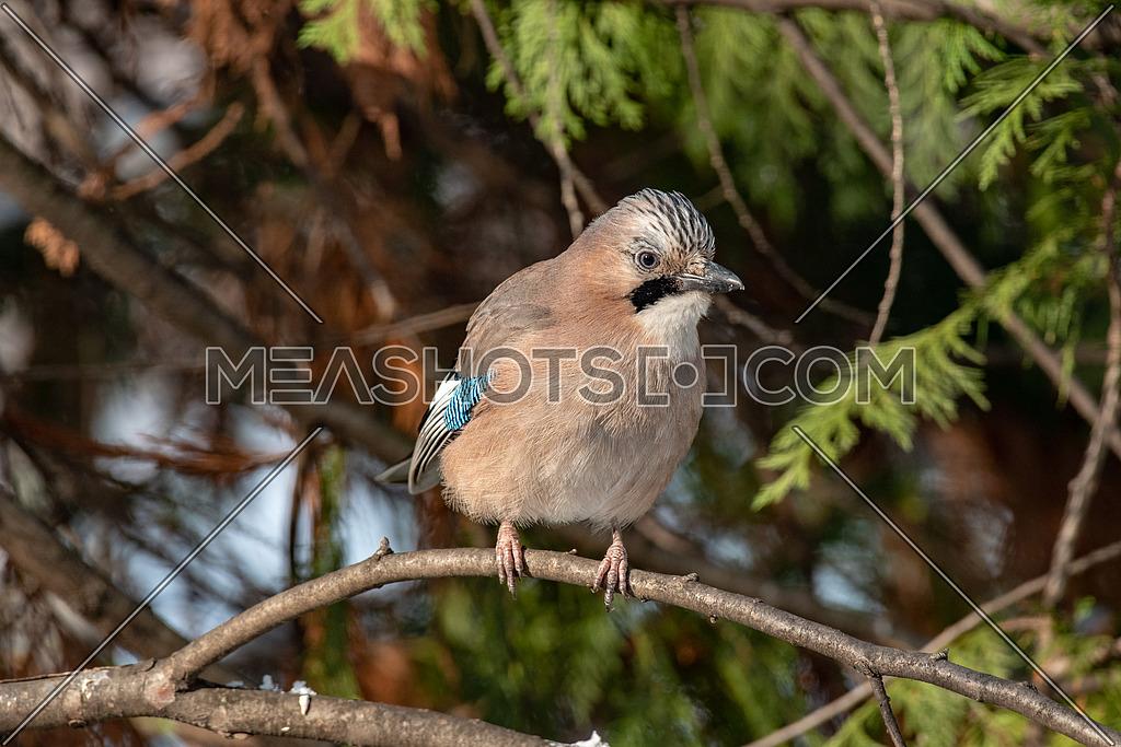 Portrait of standing Eurasian Jay - Garrulus glandarius. Bird in the crow family