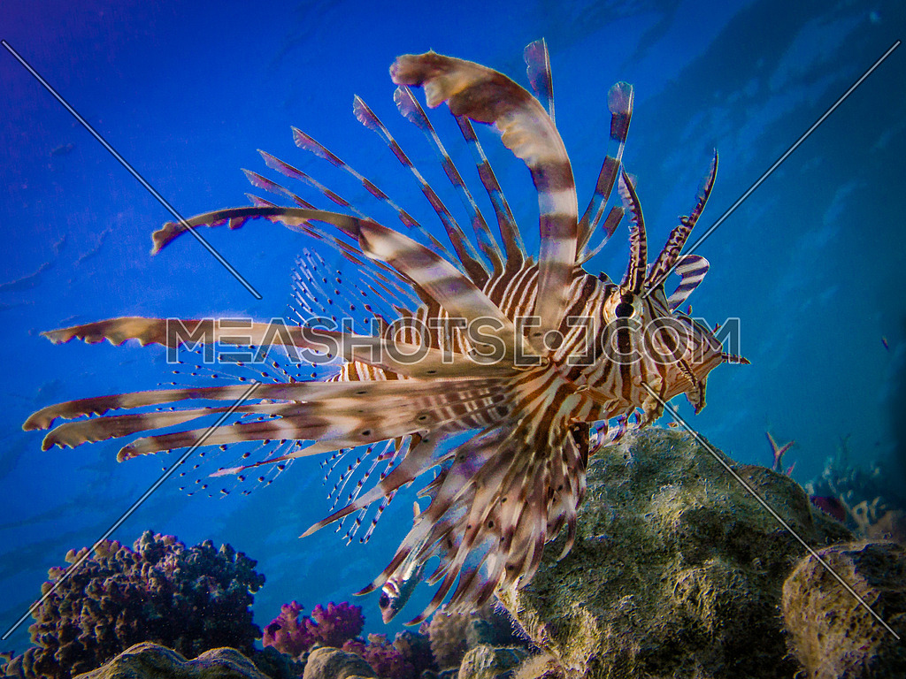 Lion fish cruising the corals