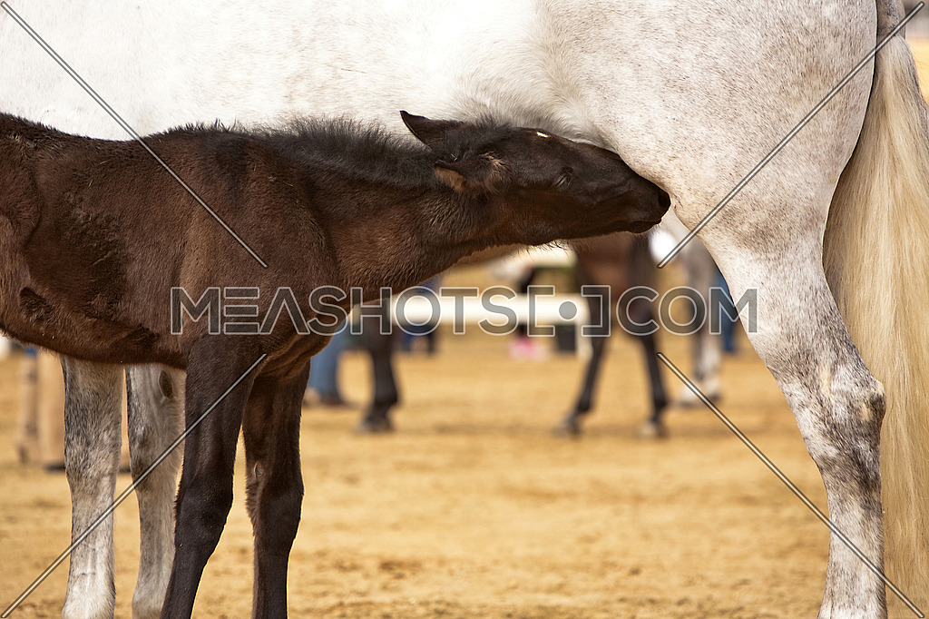 sucking his mother's horse breeding