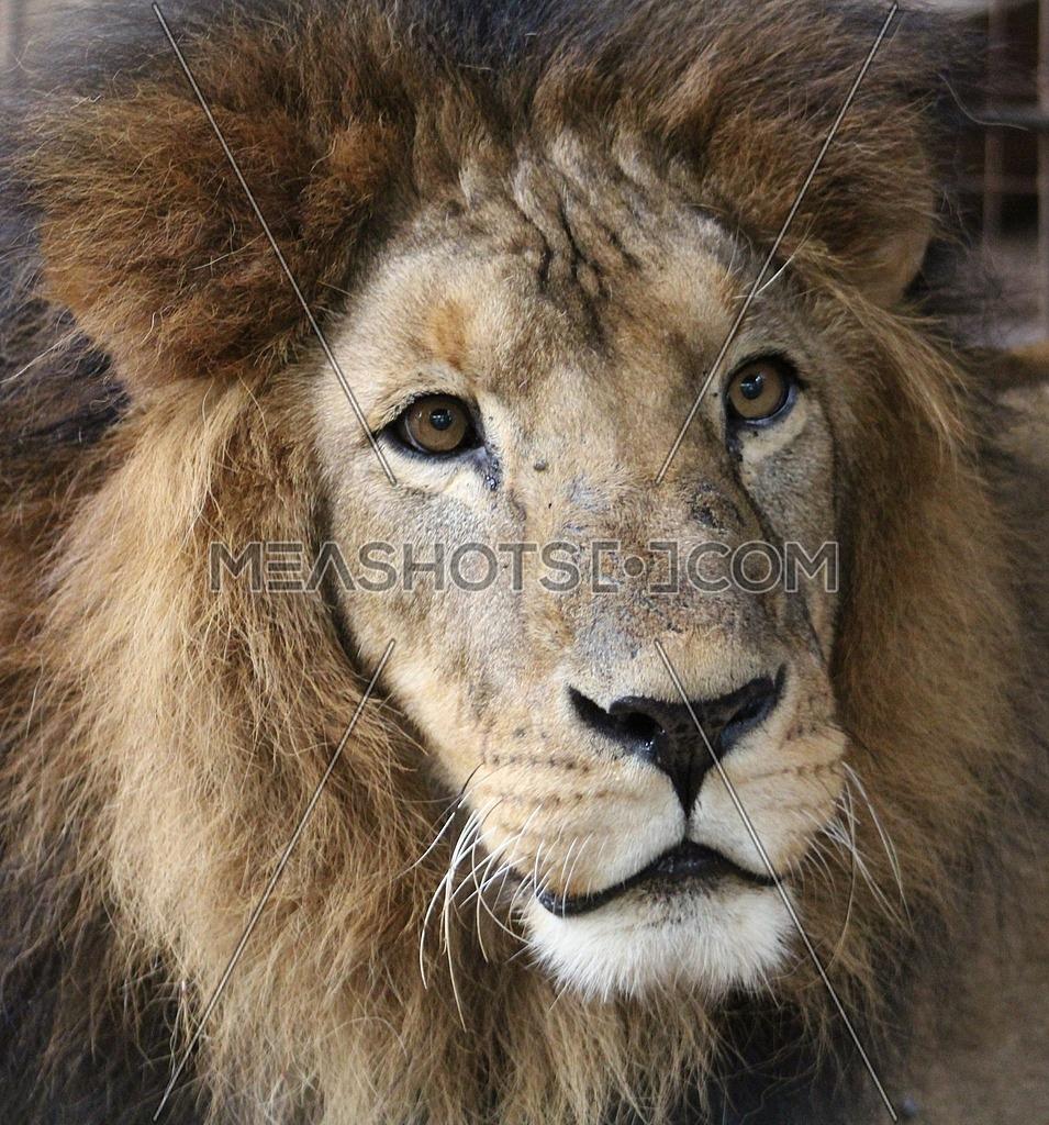 A close up of a lion's face