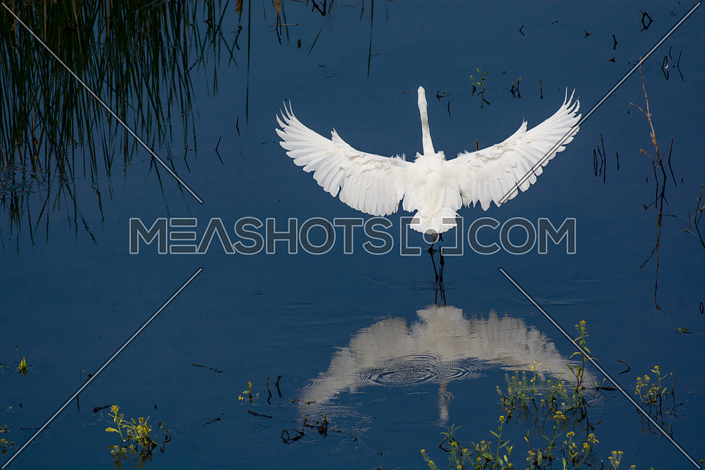 Great Egret (Ardea alba) standing on shoaliness