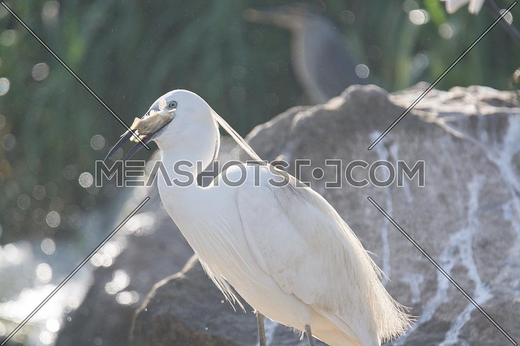 Little Egret bird eating a fish