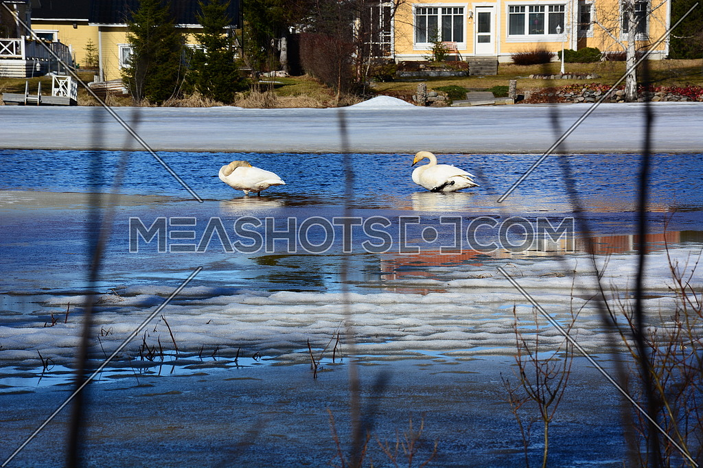 geese in a cold lake
