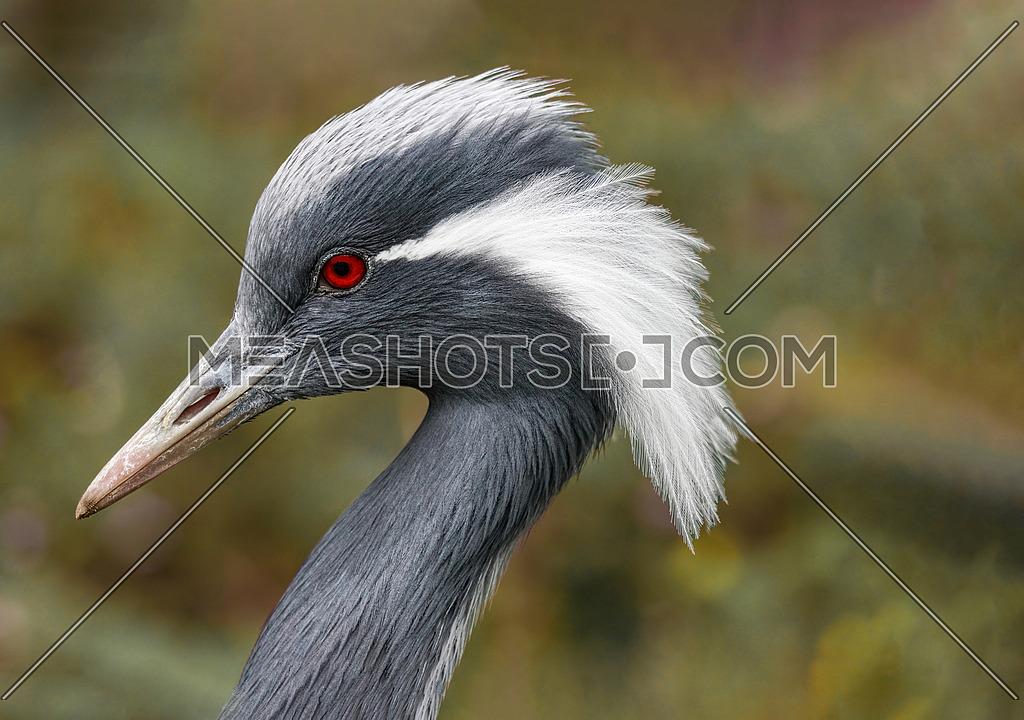 Head shot of Demoiselle Crane Bird (Anthropoides virgo). Horizontal image