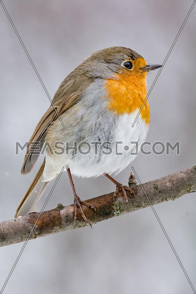 The European robin (Erithacus rubecula) on a tree branch in garden
