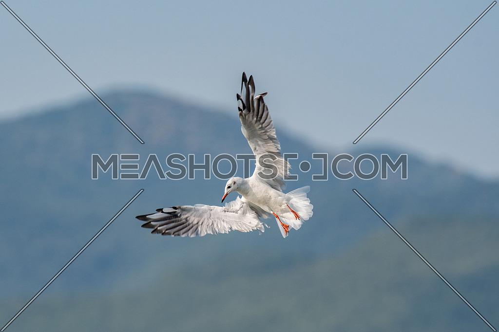 Black-headed gull (Chroicocephalus ridibundus) in flight. Wildlife in natural habitat