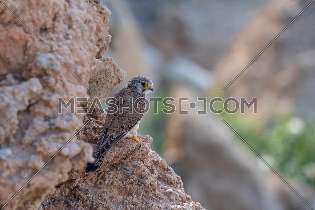 Falco tinnunculus - Common Kestrel sitting on rock