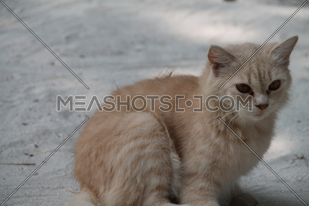 Persian cat in one of the Maldives islands