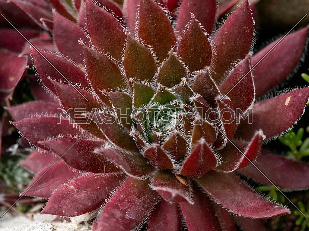 Macro photo of Sempervivum flower(Sempervivum arachnoideum) ** Note: Shallow depth of field