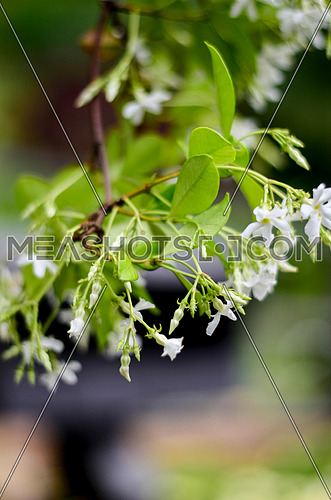 a close up image of a jasmine plant with flowers