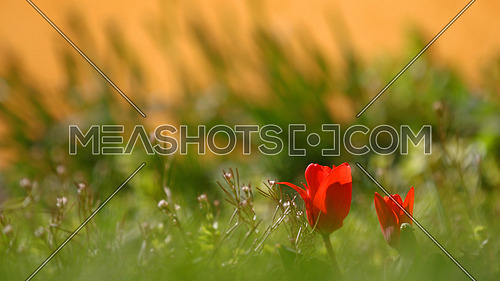 Red tulips in blurred green grass