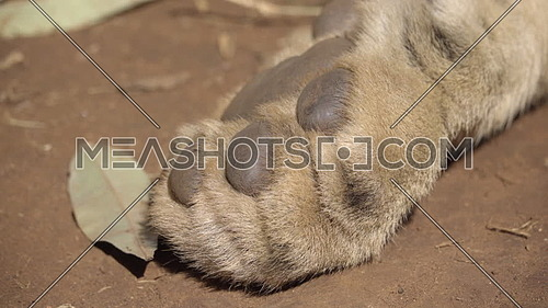 View of the front paw of a sleeping lion