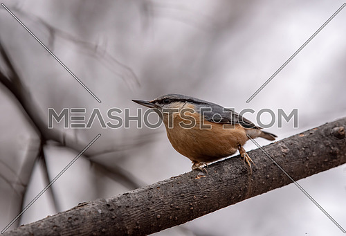Eurasian Nuthatch Sitta europaea in winter, sitting on a tree branch.