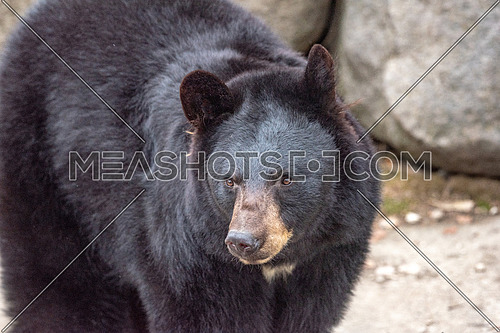 Close-up picture of American black bear (Ursus americanus).