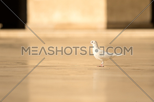 A white dove standing on a marble floor of Al-Hakim Mosque in Old Cairo Egypt