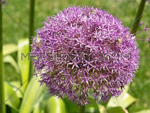 Allium cristophii commonly known as Star of Persia purple flower is a herbaceous perennial plant** Note: Shallow depth of field