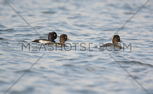 Tufted Duck swimming
