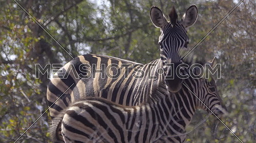 Scene of a mother Zebra standing guard near foal