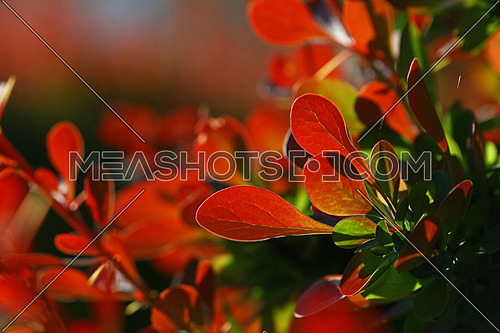 Close up vivid backlit red autumn berberis or barberry leaves, low angle view