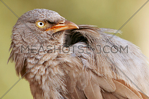 A common Indian Bird portrait