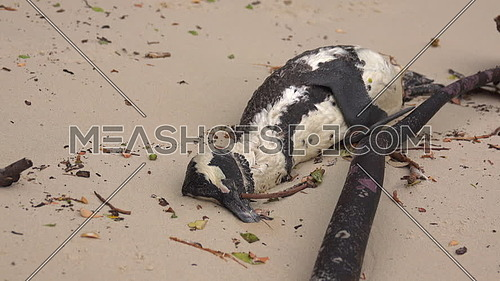 A sad view of a dead penguin lying on the beach
