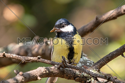 adorable, alone, animal,  beak, beautiful, bird, branch, closeup, cold, colorful, cute, environment, europe, european, fauna, feather, food, freezing, great tit, habitat, hunger, hungry, insectivorous,  lonely, nature, one, outdoor, parus major, passerine, perching, plumage, pretty, season, sitting, snow, snowfall, snowflake, songbird, tiny, tree, weather, wings, winter, yellow, birdwatching, ornithology, habitat, wildlife