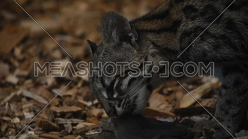 Close up side profile view of margay wildcat eating rat in the dark, low angle