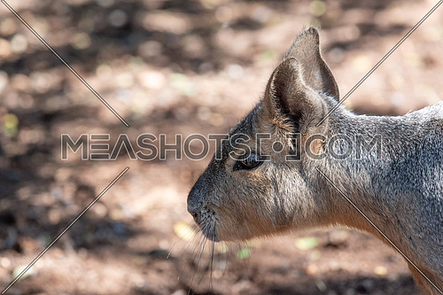 Close up of Patagonian mara (Dolichotis patagonum) in a zoological garden