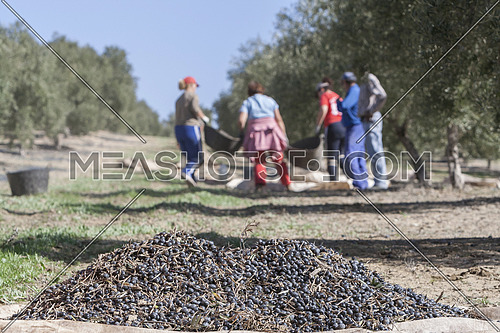 Jaen, Spain - yanuary 2, 2016: Some olives on top of a sack on the floor during the harvest of olives in winter campaign, take in Jaen, Spain