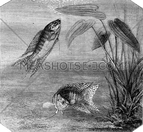Color fish, Paradise fish, vintage engraved illustration. Magasin Pittoresque 1870.