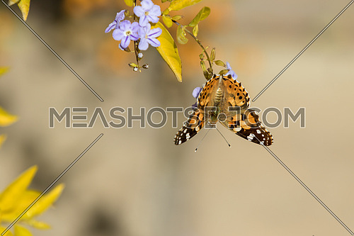 A monarch butterfly on a tree branch and violet flowers and a brownish background