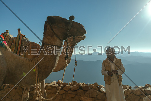 mid shot for a camel and a bedouin male at Camels rest area in Sinai Mountain by day.