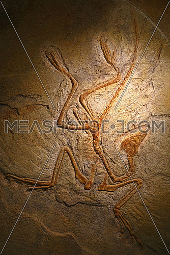 Close up petrified extinct prehistoric fossil remains of Archaeopteryx, a genus of birdlike dinosaurs, transitional between non avian feathered dinosaurs and modern birds