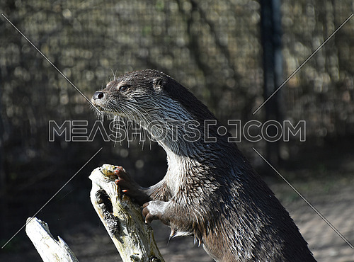 Close up side profile portrait of one wet giant river otter (Pteronura brasiliensis) out of water on tree branch in zoo, looking away, low angle view