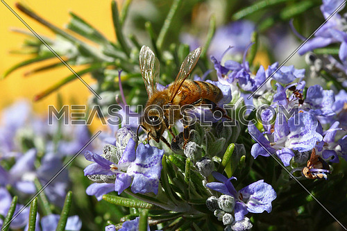 Honeybee going through a rosemary flower