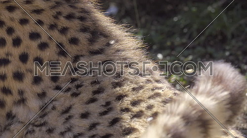 Close up view of cheetah fur