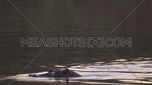 View of hippos surfacing up and down in a river