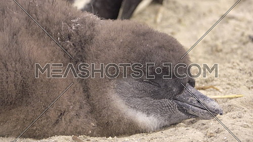A downy feather covered chick nestling sleeping